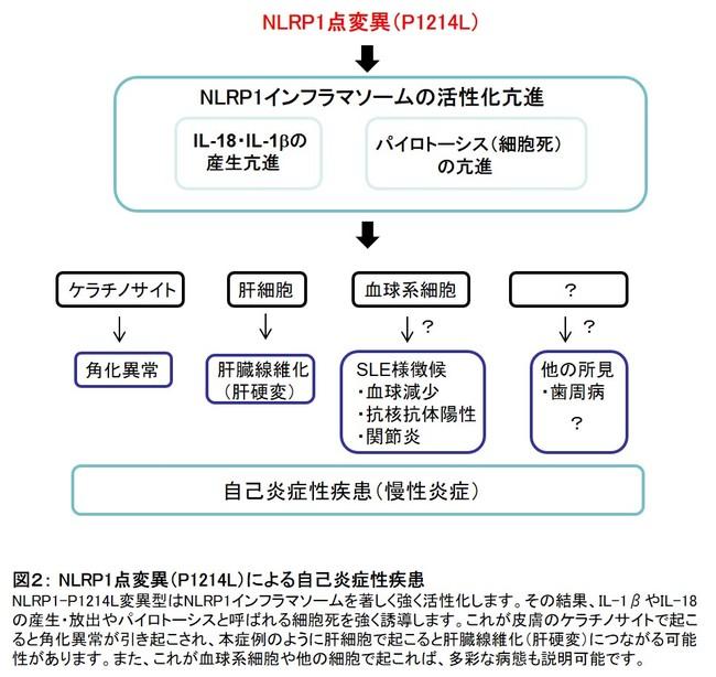 図2: NLRP1点変異(P1214L)による自己炎症性疾患