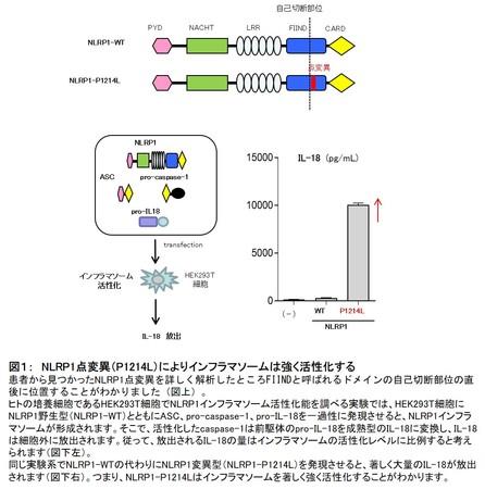 図1: NLRP1点変異(P1214L)によりインフラマソームは強く活性化する