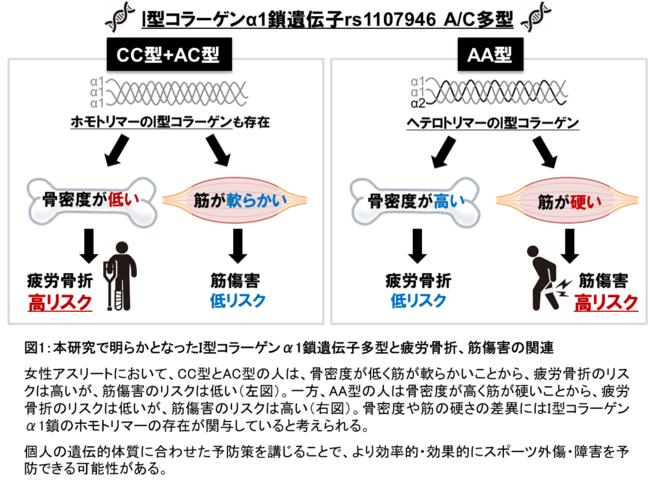 図1:本研究で明らかとなったI型コラーゲンα1鎖遺伝子多型と疲労骨折、筋傷害の関連