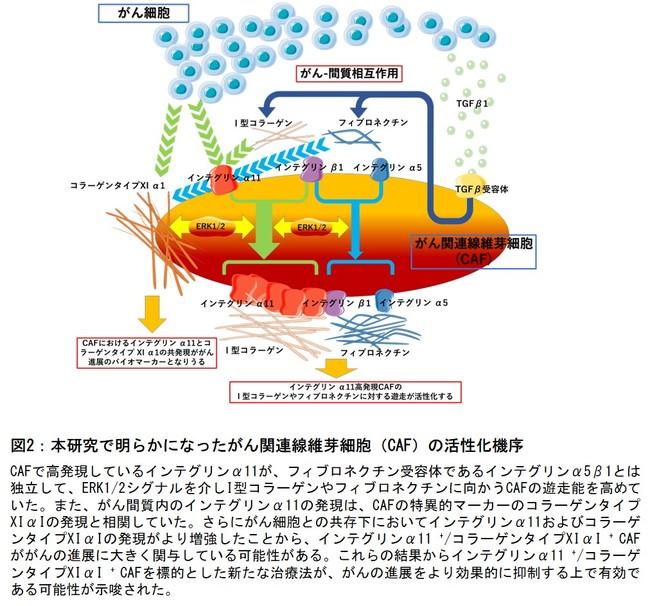 図2:本研究で明らかになったがん関連線維芽細胞(CAF)の活性化機序