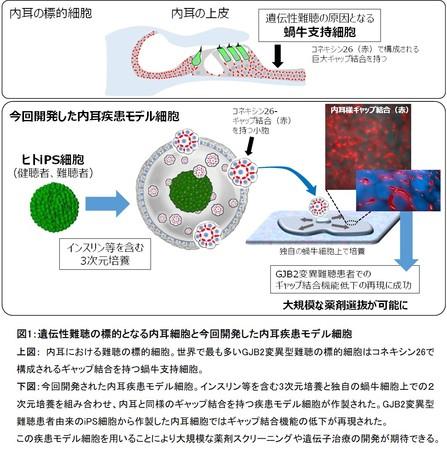 図1:遺伝性難聴の標的となる内耳細胞と今回開発した内耳疾患モデル細胞