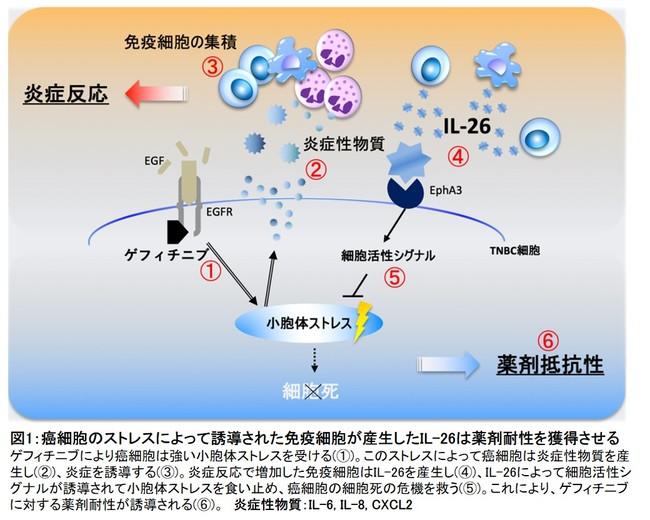 図1:癌細胞のストレスによって誘導された免疫細胞が産生したIL-26は薬剤耐性を獲得させる