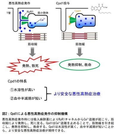 図2:Cpd1による悪性高熱症発作の抑制機構