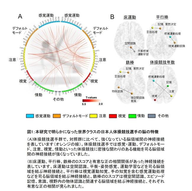 図1:本研究で明らかになった世界クラスの日本人体操競技選手の脳の特徴