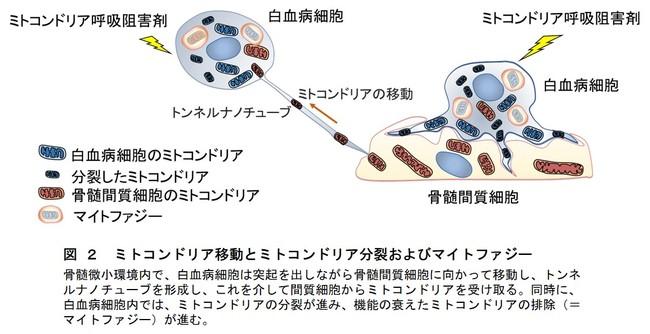 図 2 ミトコンドリア移動とミトコンドリア分裂およびマイトファジー