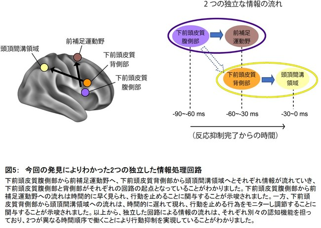 図5: 今回の発見によりわかった2つの独立した情報処理回路
