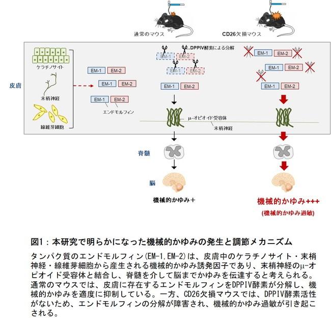 図1:本研究で明らかになった機械的かゆみの発生と調節メカニズム