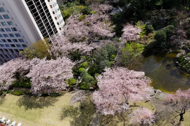 客室から見下ろした日本庭園の桜