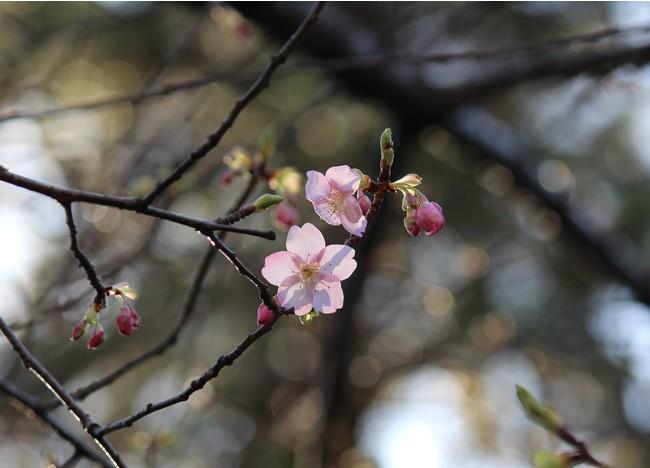 日本庭園の河津桜(2021年2月5日(金)12時撮影)
