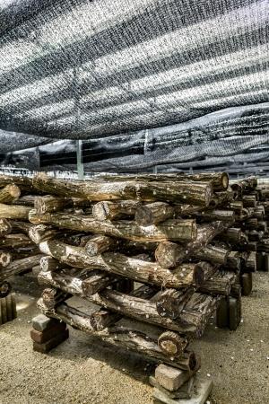 太陽光パネル下で栽培するしいたけの原木は、約5500本。生しいたけと干しいたけにて出荷する予定。