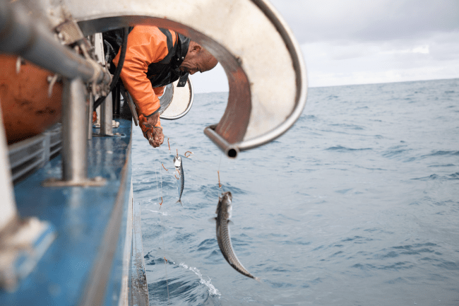 釣り針と赤い糸を使い、 ほとんど混獲がない伝統的な漁法で捕獲