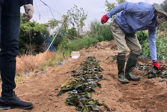 廃棄される海藻のアマモを活用した循環型農業