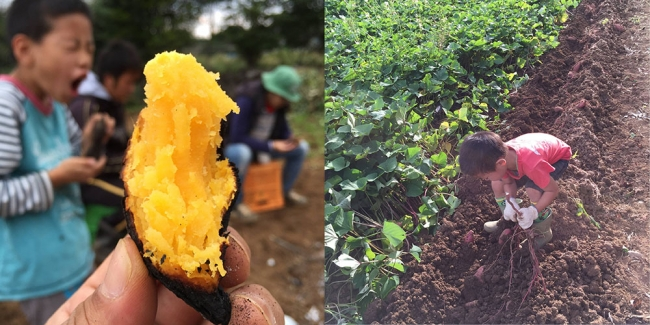 さつまいもは全く化学肥料や農薬を使わずに栽培しました。