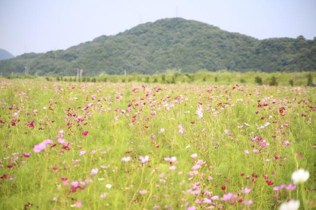 笠岡ベイファームのコスモス畑