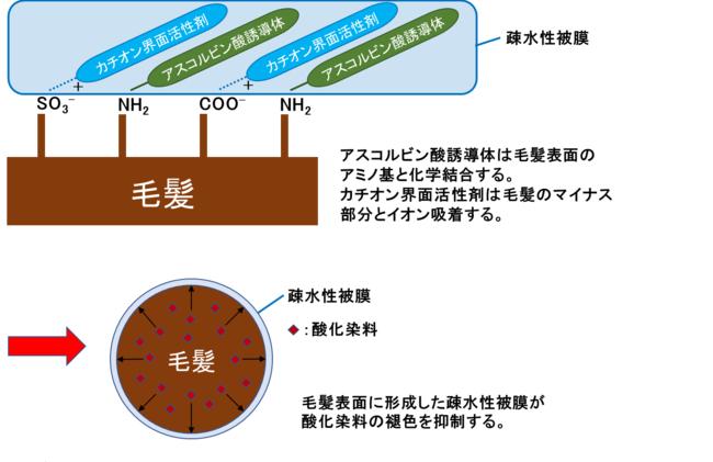 図3)アスコルビン酸誘導体、カチオン界面活性剤による疎水性被膜形成と褪色抑制のイメージ