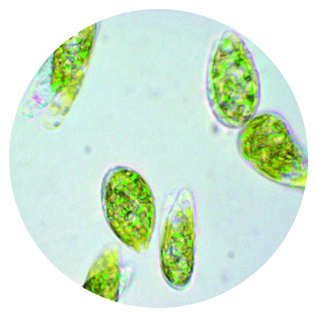 ユーグレナ顕微鏡画像