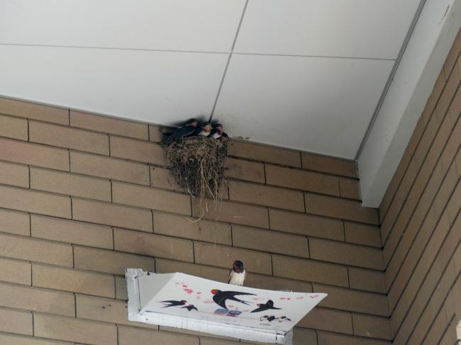 ツバメ の 巣 フン 受け ツバメ観察全国ネットワーク - フン受けの型紙