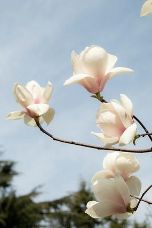 園内に咲き乱れるマグノリア(昨年の様子)