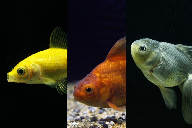 さまざまな色の金魚たち