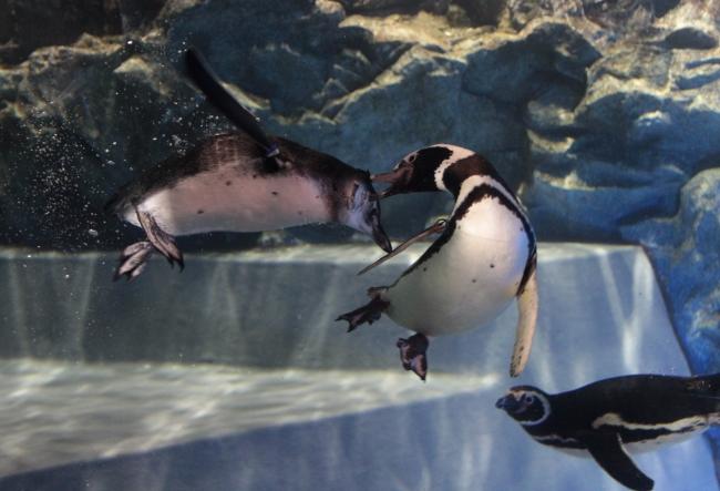 昨年プールデビューした赤ちゃんと遊ぶ大人のペンギン