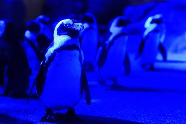 青い照明につつまれるペンギン