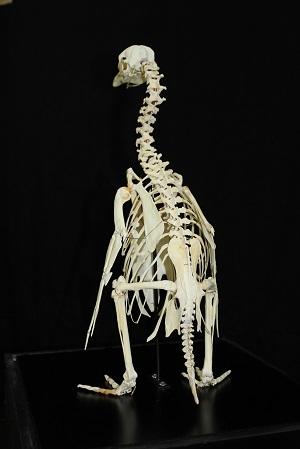 マゼランペンギンの骨格標本の展示