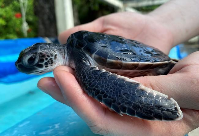 小笠原で今年生まれたウミガメの赤ちゃん
