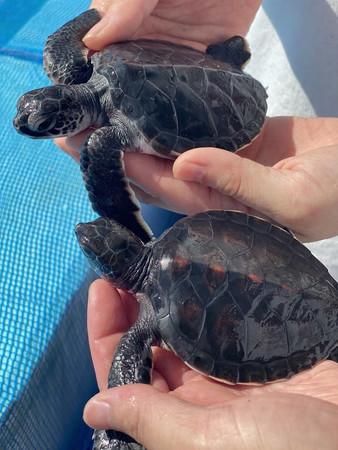 アオウミガメの赤ちゃんたち