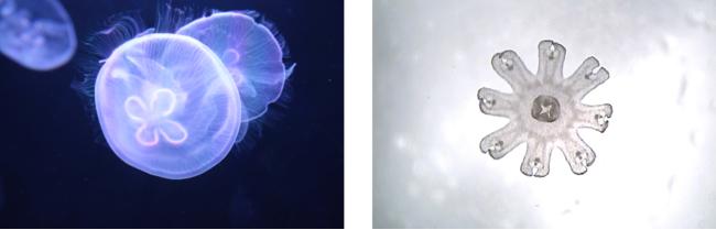 """""""海月""""の由来といわれる 満月のように丸いミズクラゲ     星のようなミズクラゲの赤ちゃん""""エフィラ"""""""