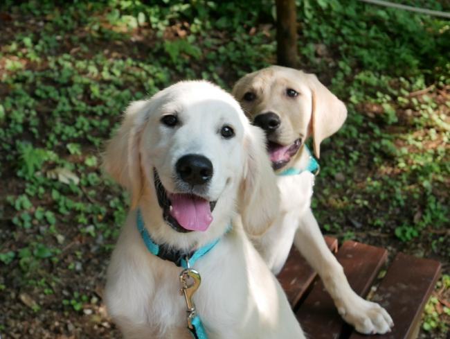 写真1:本トライアル事業のために迎えた候補犬2頭。タイ(左:ゴールデン・レトリバー種オス、2019年2月23日うまれ)とマサ(右ラブラドール・レトリバー種オス、2019年3月7日うまれ)