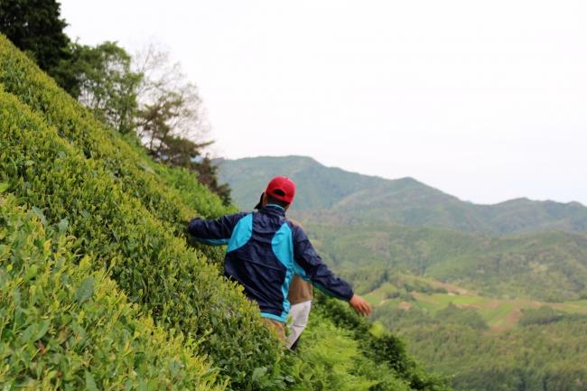 日本有数の急斜面。  茶畑を歩くのにもしっかりと注意を払います。