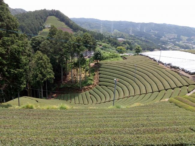 円形に広がる茶園が美しく、人と自然が織りなす芸術作品の様。
