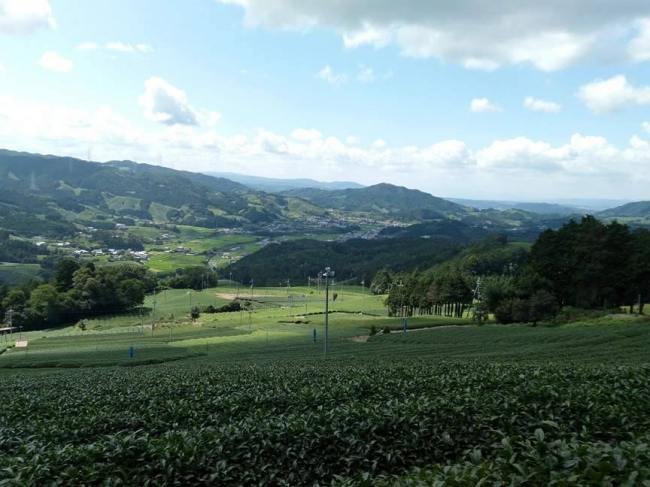 茶畑を一望できる、人気の撮影スポットより