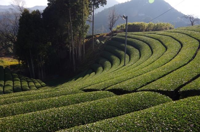 個人では中々散策するのが難しい、原山の円形茶園も見学コースに含まれます