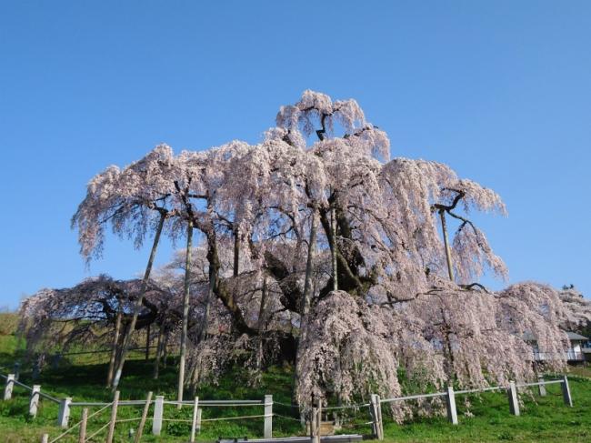 ※写真は福島県「三春滝桜」