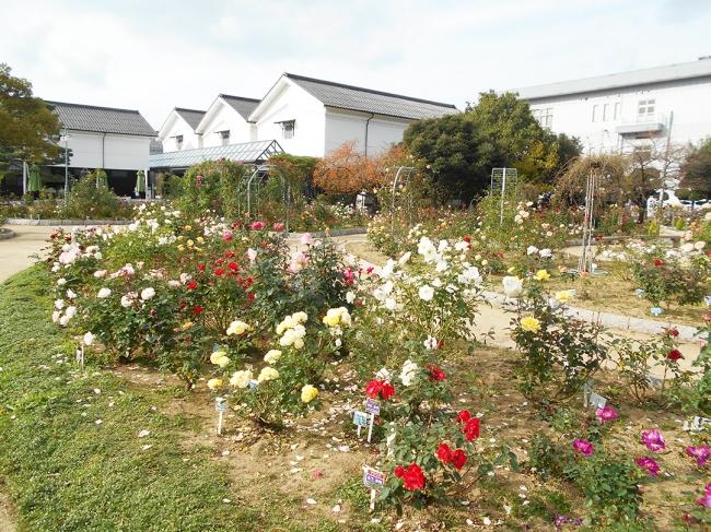 今の綾部バラ園の様子 (写真左/左奥の建物がグンゼ博物苑)
