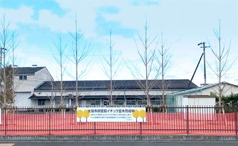 グンゼ研究所敷地内(京都府綾部市)のイチョウ育成圃場