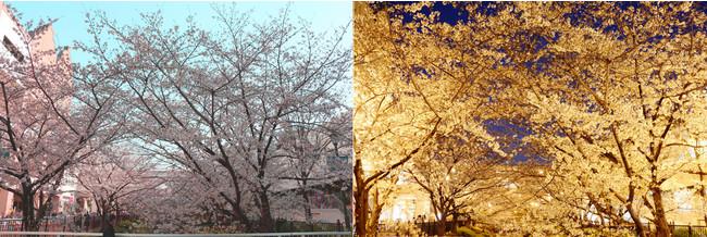 (画像)つかしんせせらぎ通り伊丹川沿いの桜、右はライトアップされた桜