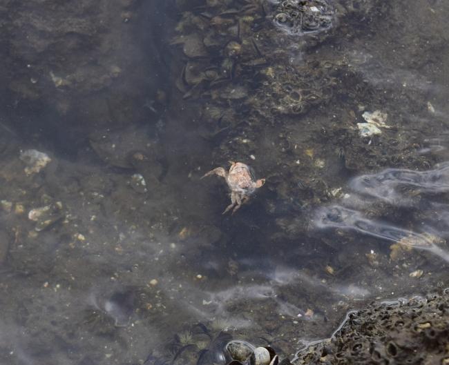 東京湾に生息するカニ