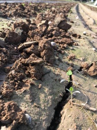 洪水被害にあった岡山パクチーの畑で、小さな芽が(植田輝義さん提供)