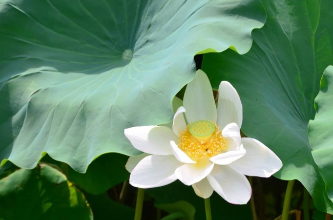 岡山後楽園の蓮池に咲いた「一天四海」
