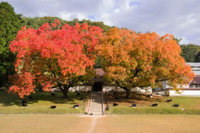 楷の木の見頃は、11月20日頃まで