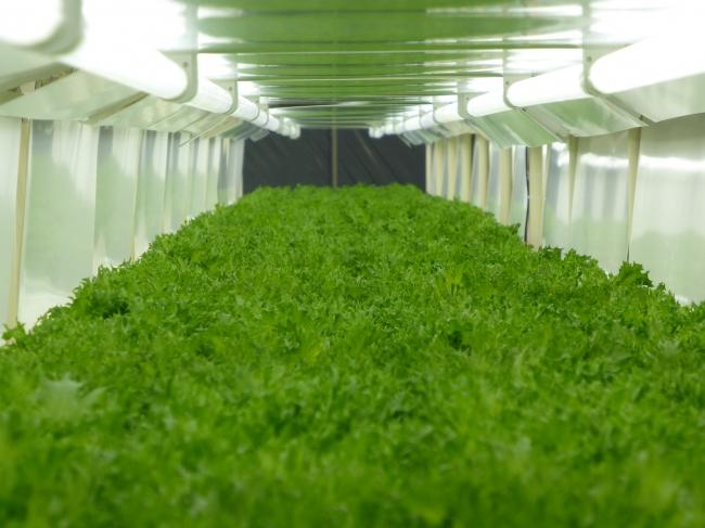 パナソニック植物工場で生産する野菜