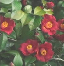 Rich Camellia
