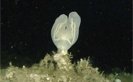 江の島沖水深130 mで発見したコトクラゲ