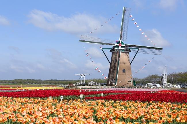 佐倉ふるさと広場に咲くチューリップとオランダ風車
