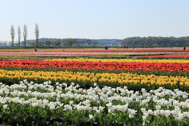 関東最大級のチューリップ畑