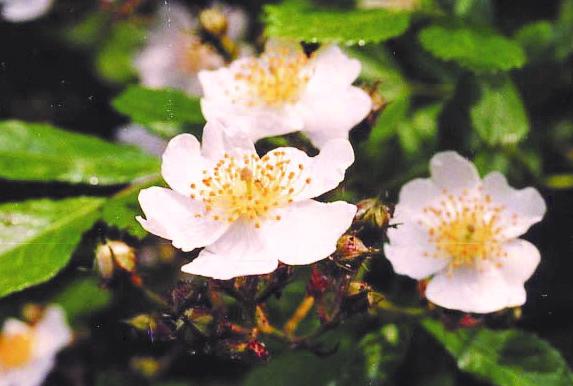 バラ科植物の和漢植物エキス