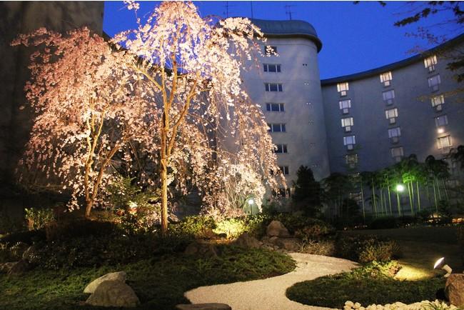 例年ホテル中庭に咲くしだれ桜の様子