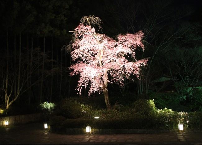 ロビーラウンジ 水の音から鑑賞いただける 例年の夜桜の様子